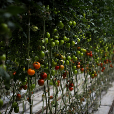 Red, oranger and green tomatoes growing on a vine in a greenhouse