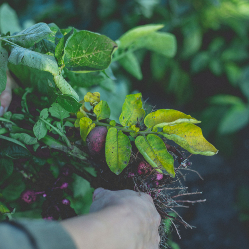 Purple radishes with green leaves being held by a farmers hands