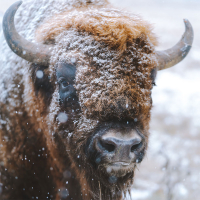 A bison in the snow in Alberta